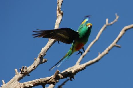 Mulga Parrot - Male - Wandina Station (WA)