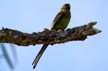 Mulga Parrot - Female - Wandina Station (WA)