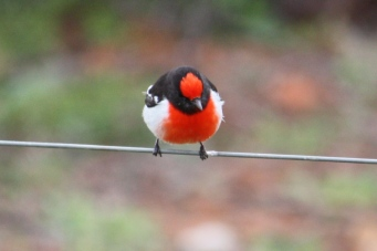 Red-capped Robin - Male - Boogardie Station (WA)