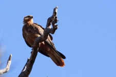 Gascoyne River South Branch - Whistling Kite (WA)
