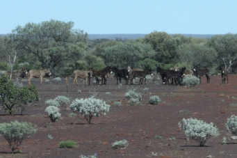 "Gascoyne River To Newman - Wild Donkeys - Fourteenth Tick for Di's ""Animals in the Wild"" List (WA)"