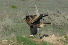 Wedge-tailed Eagle - Coorabie (SA)