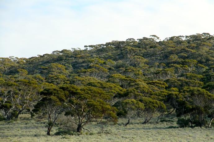 Madura Pass - Flora (WA)