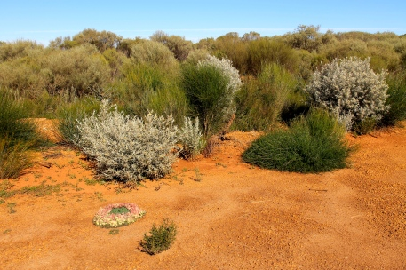 Wildflower Country - Wreath Lechenaultia (WA)