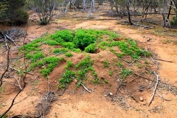 Canna - Mallee Fowl Mound (WA)
