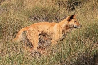 Karijini National Park - Dingo (WA)