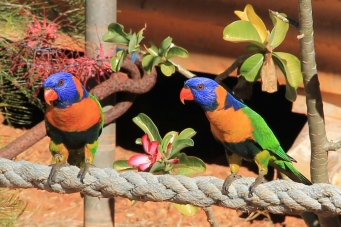 Red-collared Lorikeets - Broome Museum (WA)