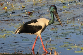 Black-necked Stork (Jabiru) - Fitzroy Crossing (WA)