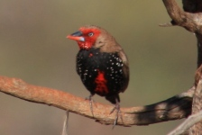 Painted Finch - Bore Campsite - Mulga Downs Station (WA)