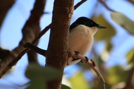 Restless Flycatcher - Roebuck Plains Caravan Park (WA)