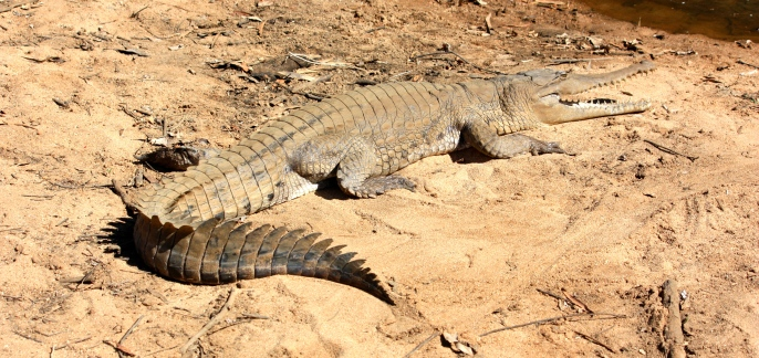 Windjana Gorge - Freshwater Crocodile (WA)