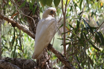 Little Corella - Windjana Gorge (WA)