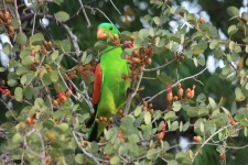 Red-winged Parrot - Fitzroy Crossing (WA)