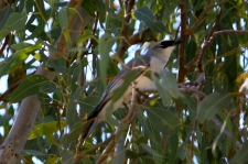 White-bellied Cuckoo-shrike - Fitzroy Crossing (WA)