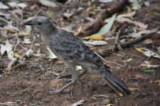 Great Bowerbird - Fitzroy Crossing (WA)