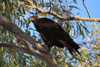 Wedge-tailed Eagle - Fitzroy Crossing (WA)