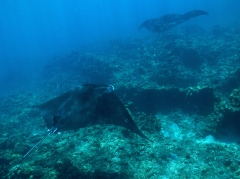 Ningaloo Whale Shark Tour - Manta Rays (WA)