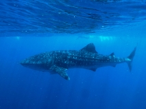 Ningaloo Whale Shark Tour - Whale Shark (WA)