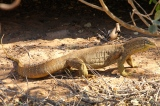 Sand Goanna/ Goulds Monitor - Barn Hill (WA)