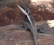 Geikie Gorge - Long-nosed Dragon (WA)