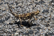 Thorny Devil (Moloch horridus) - Point Quobba (WA)