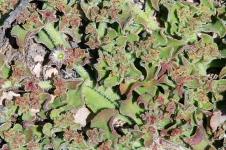 Point Quobba - Flora (WA)