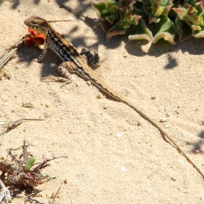 Point Quobba - Spotted Mallee Military Dragon (WA)