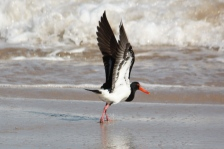 Pied Oystercatcher - Barn Hill Station (WA)