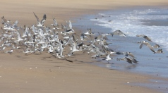 Crested Terns - Barn Hill Station (WA)