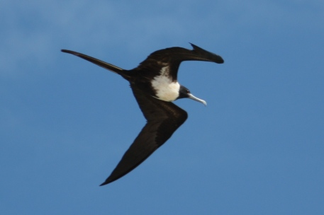 Lesser Frigatebird - Female - Barn Hill Station (WA)