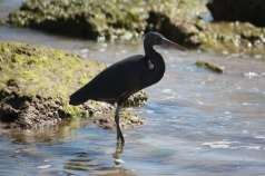 Eastern Reef Egret - Barn Hill Station (WA)