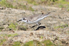 Sand Plover - Barn Hill Station (WA)