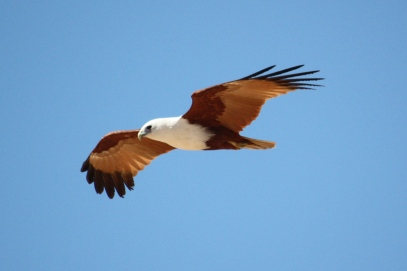 Brahminy Kite - Barn Hill (WA)