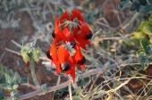 Miaree Pool - Sturts Desert Pea (WA)