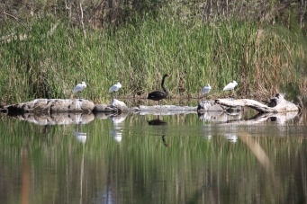 Black Swan and Royal Spoonbills - Miaree Pool (WA)