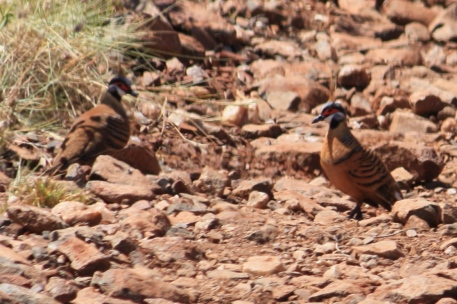 Spinifex Pigeons - Miaree Pool (WA)