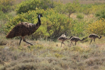 Emu and Chicks - Exmouth (WA)