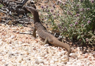 Sand Goanna/Monitor -- Osprey Campground, Cape Range National Park (WA)