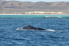 Ningaloo Whale Shark Tour - Mother and Baby Humpback Whales (WA)