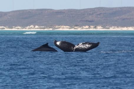 Ningaloo Whale Shark Tour - Humpback Whales (WA)