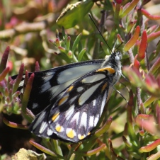Point Quobba - Caper White Butterfly (WA)
