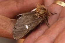 Bag Shelter Moth - Gascoyne Junction Area (WA)