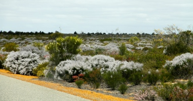Kalbarri National Park - Wildflowers (WA)