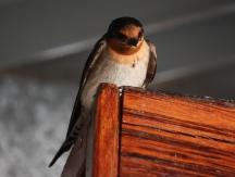 Welcome Swallow- Hamelin Station (WA)