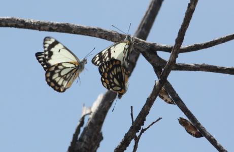 Caper White Butterflies - 'Waiting In Line' - Hamelin Pool (WA)