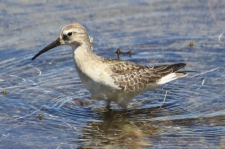 Wood Sandpiper - Hamelin Station (WA)