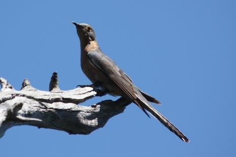 Fan-tailed Cuckoo - Ellendale Pool (WA)