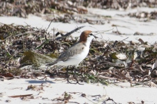 Red-capped Plover - South Beach, Dongara (WA)