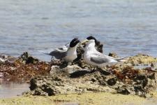 Crested Terns - Billy Goat Bay (WA)