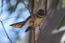 Grey Fantail - Stockyard Gully National Park (WA)